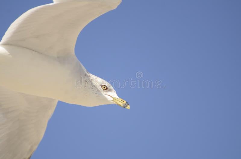 Um close up de um voo solitário da gaivota acima da linha costeira do oceano fotos de stock