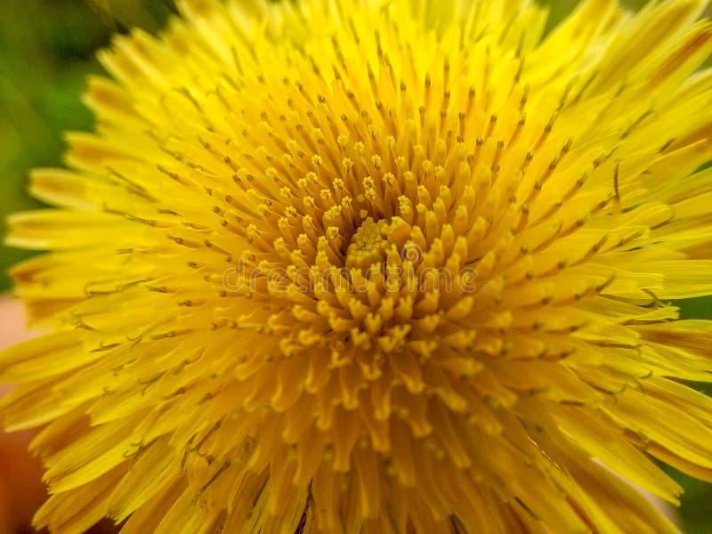 Um close-up do dente-de-leão imagens de stock royalty free