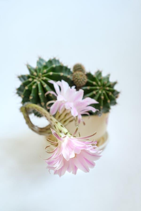 Um close up macro de uma flor cor-de-rosa de seda bonita do cacto de Echinopsis Lobivia da proposta e de uma planta pontudo espin foto de stock