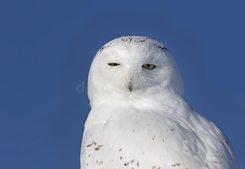 Um close up nevado masculino do scandiacus do bubão da coruja e isolado contra um fundo azul empoleirado em um cargo de madeira n fotos de stock royalty free