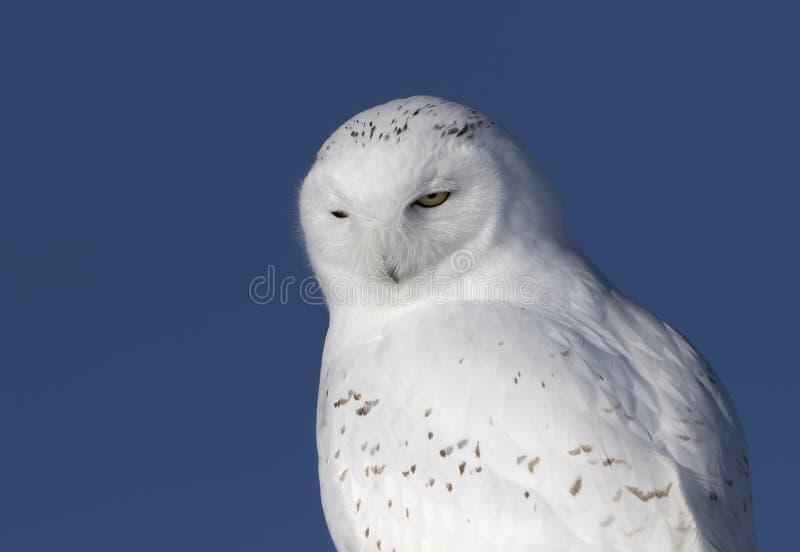 Um close up nevado masculino do scandiacus do bubão da coruja e isolado contra um fundo azul empoleirado em um cargo de madeira n imagem de stock royalty free
