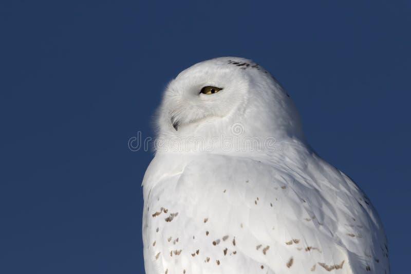 Um close up nevado masculino do scandiacus do bubão da coruja e isolado contra um fundo azul empoleirado em um cargo de madeira n fotografia de stock