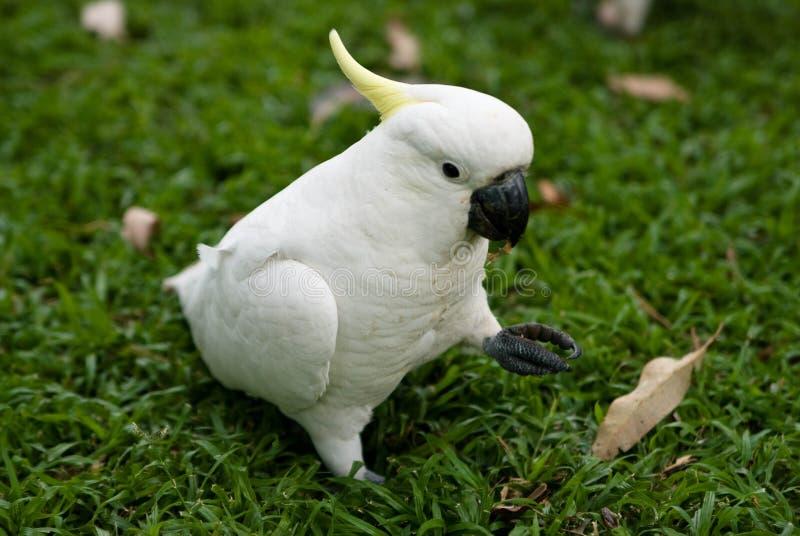 Um cockatoo enxôfre-com crista foto de stock royalty free