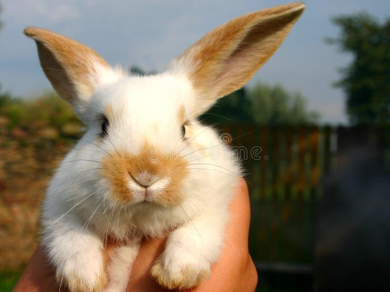 Um coelho bonito pequeno de easter com pele branca com orelhas e o nariz vermelhos olha em linha reta na câmera fotografia de stock royalty free