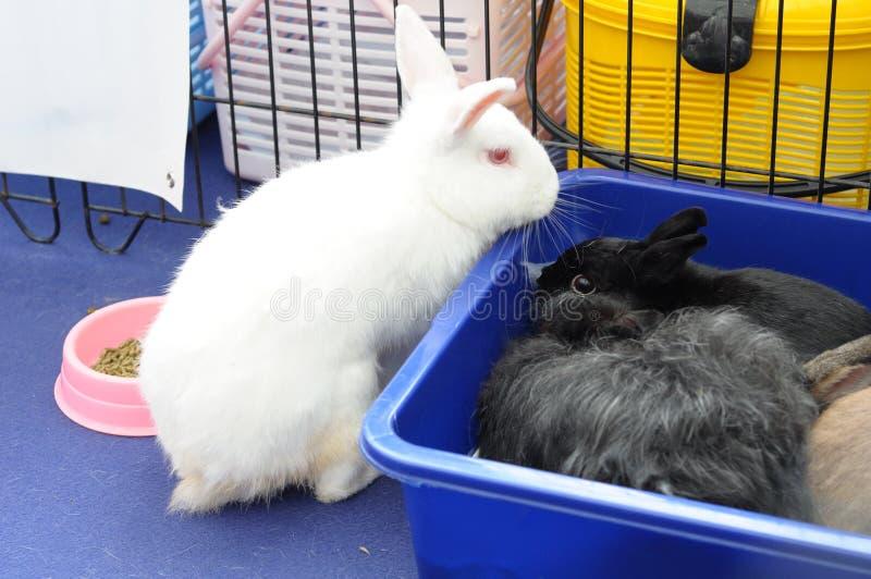 Um coelho branco e dois coelhos pretos foto de stock