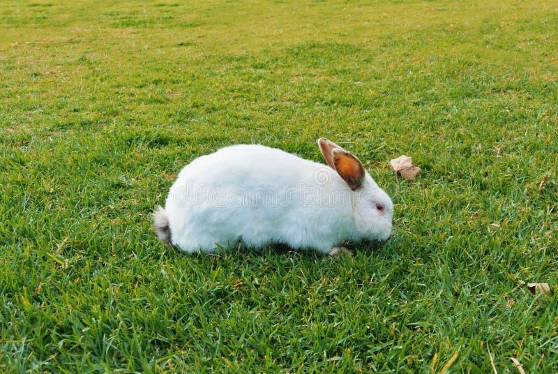 Um coelho branco grande com orelhas escuras e os olhos vermelhos que anda comendo o sn foto de stock