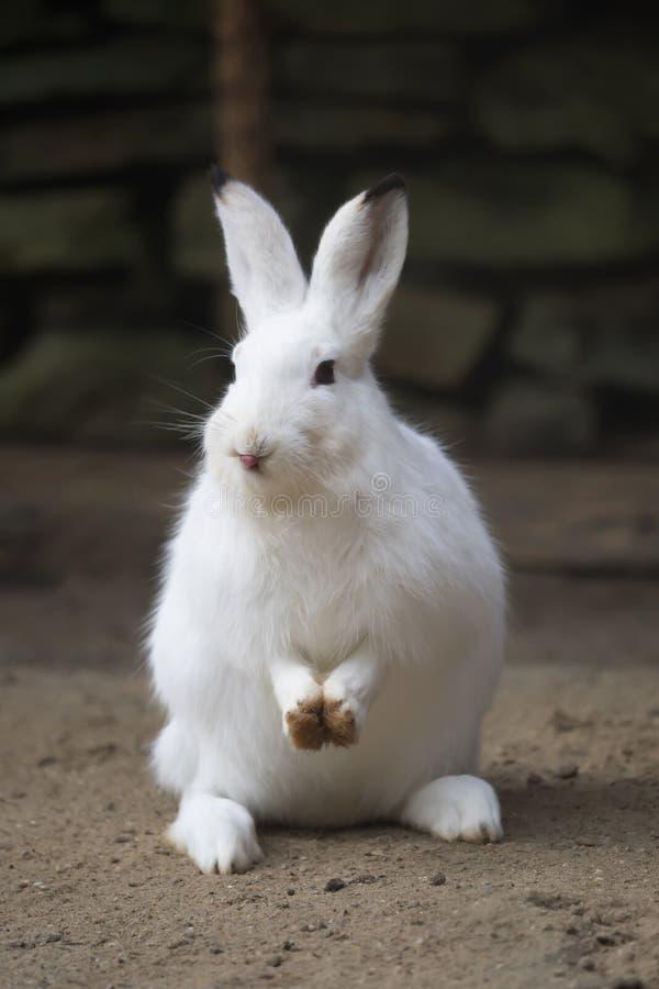 Um coelho branco olha na câmera foto de stock royalty free