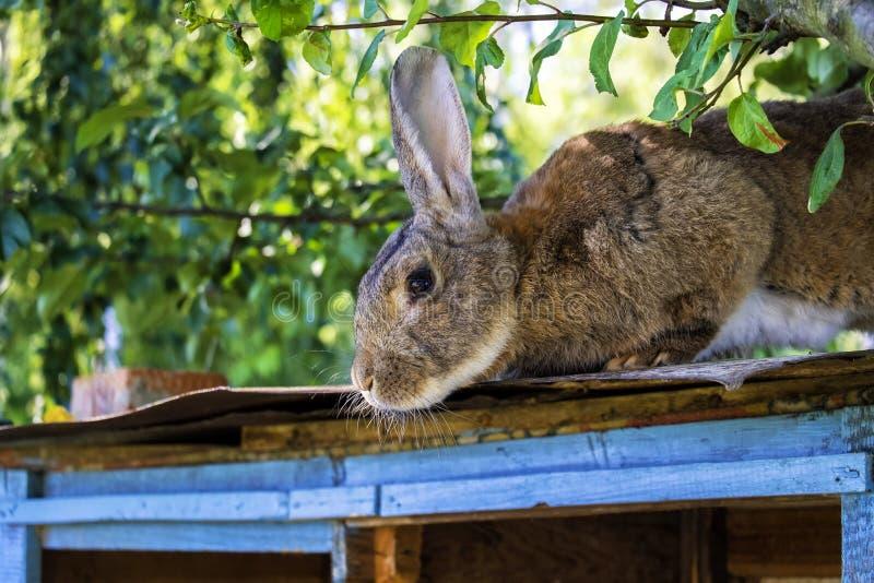 Um coelho de Brown fotos de stock