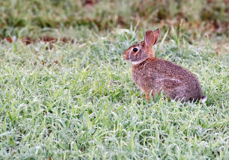 Um coelho do bebê na grama molhada no amanhecer fotos de stock royalty free