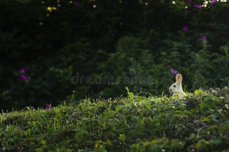 Um coelho que senta-se na grama imagens de stock
