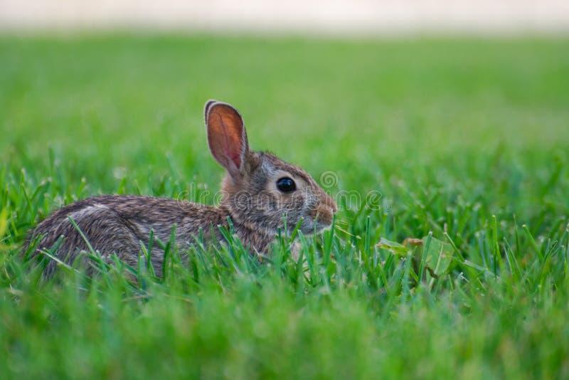 Um coelho selvagem bonito muito pequeno no quintal imagem de stock royalty free