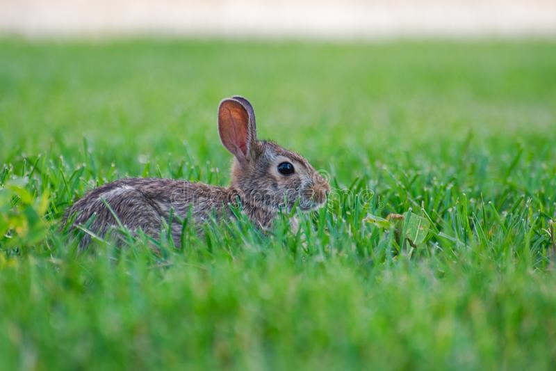 Um coelho selvagem bonito muito pequeno no quintal fotografia de stock royalty free