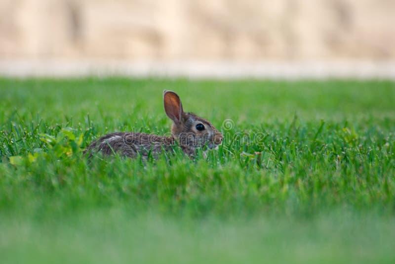 Um coelho selvagem bonito muito pequeno no quintal fotografia de stock