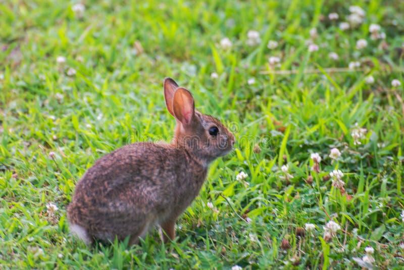 Um coelho selvagem bonito muito pequeno no quintal imagem de stock