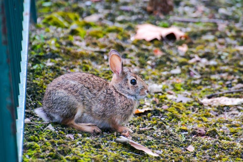 Um coelho selvagem bonito muito pequeno no quintal foto de stock royalty free