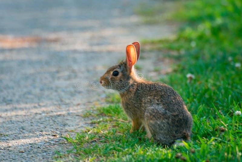 Um coelho selvagem bonito muito pequeno no quintal imagens de stock