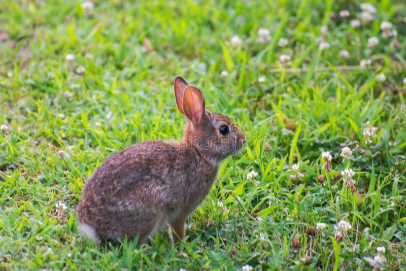 Um coelho selvagem bonito muito pequeno no quintal fotos de stock