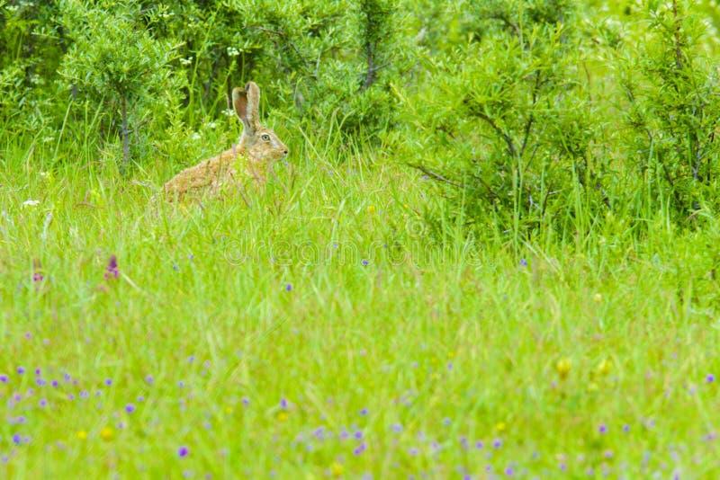 Um coelho selvagem na grama foto de stock royalty free
