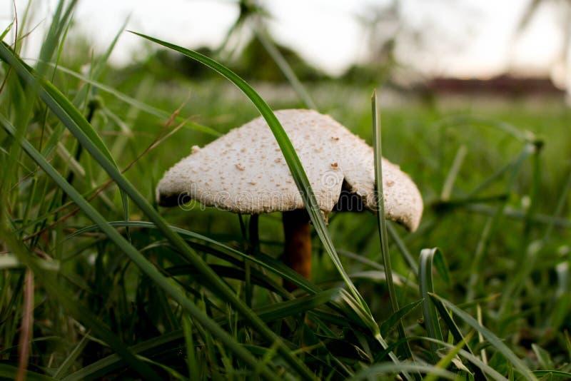 Um cogumelo selvagem imagens de stock