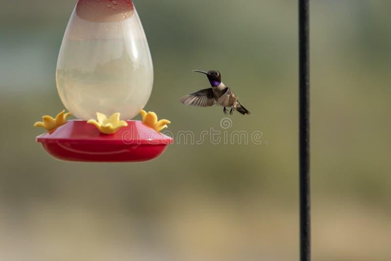 Um colibri preto-chinned paira sobre um alimentador fotografia de stock