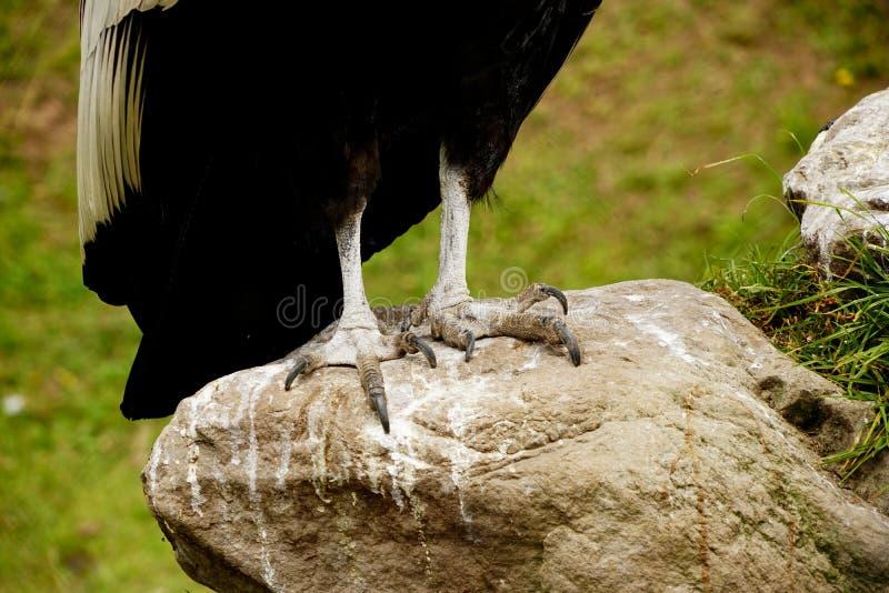um condor andino fotos de stock royalty free