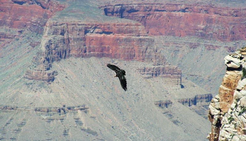 Um Condor de Califórnia foto de stock royalty free