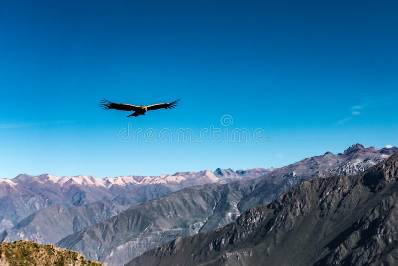 Um condor selvagem está voando perto do ponto de vista sobre a garganta de Colca, Peru de Cruz Del Condor fotografia de stock