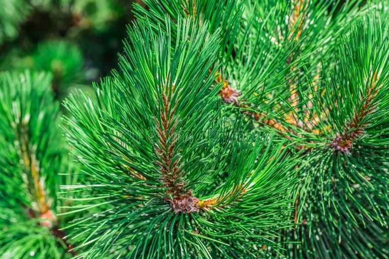 Um cone bonito do pinho marrom imagem de stock