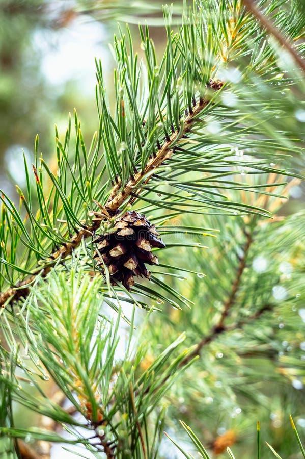 Um cone velho do pinho em um ramo verde imagem de stock royalty free