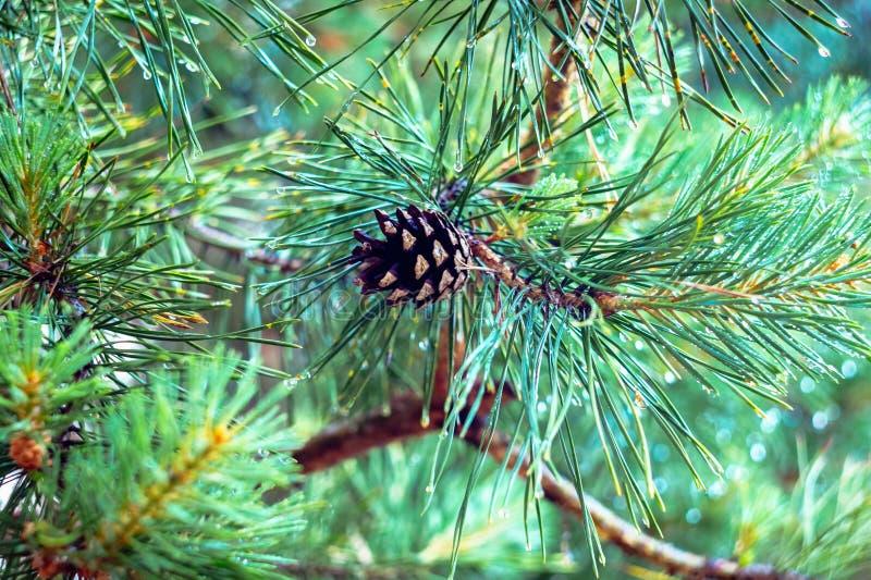 Um cone velho do pinho em um ramo verde fotos de stock royalty free