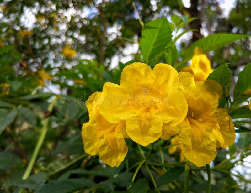 Um conjunto de flores amarelas imperfeitas de florida fotografia de stock royalty free
