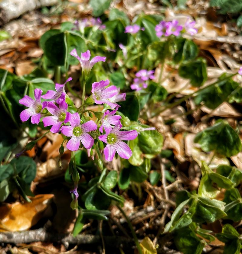 Um conjunto de flores roxas e brancas pequenas imagens de stock royalty free