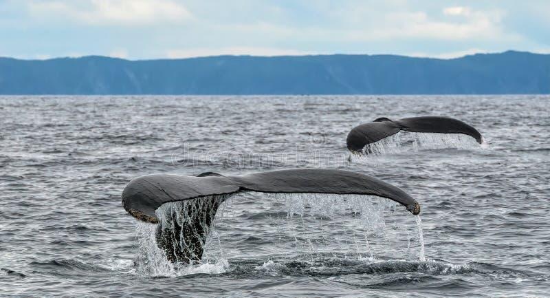 Um conto das caudas da baleia fotografia de stock royalty free