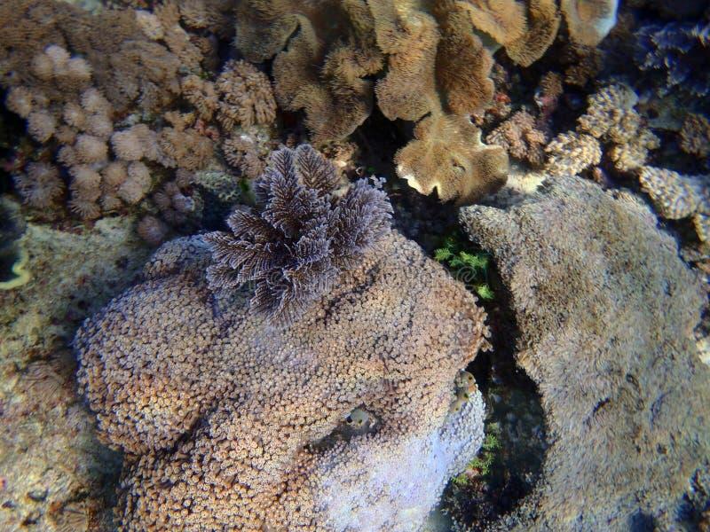 Um coral colorido do gorgonia foto de stock