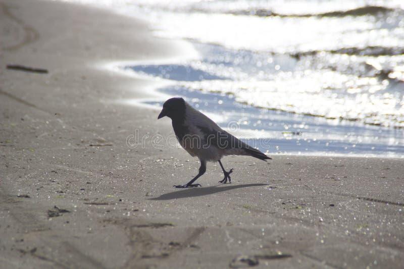 Um corax comum do Corvus do corvo fotos de stock royalty free