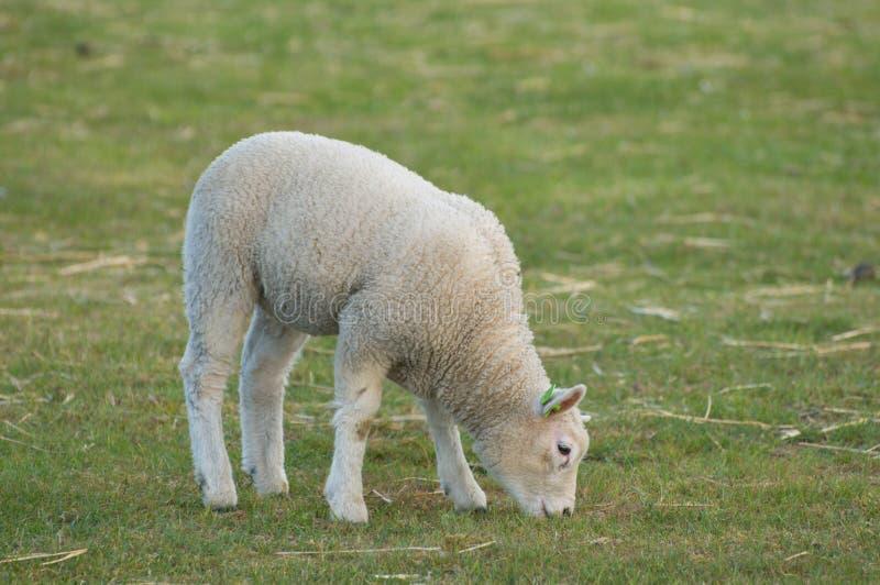 Um cordeiro em um prado. imagens de stock royalty free