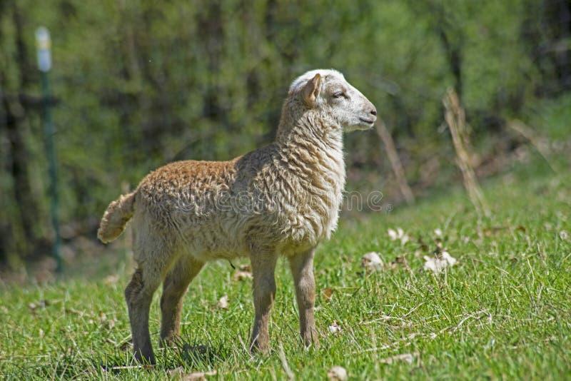 Um cordeiro pequeno do beb? joga na grama verde fotografia de stock