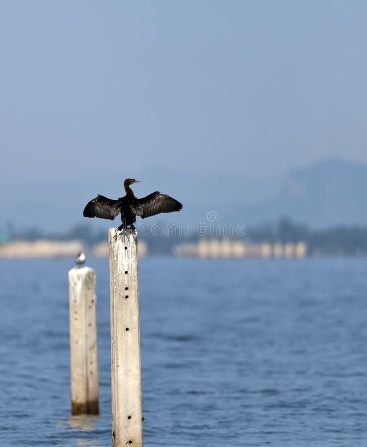 Um Cormorant pequeno fotografia de stock royalty free