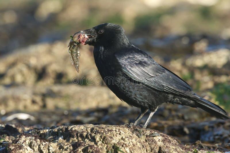 Um corone de Carrion Crow Corvus que empoleira-se em uma rocha em uma praia no Reino Unido com um peixe em seu bico que está a po imagem de stock royalty free