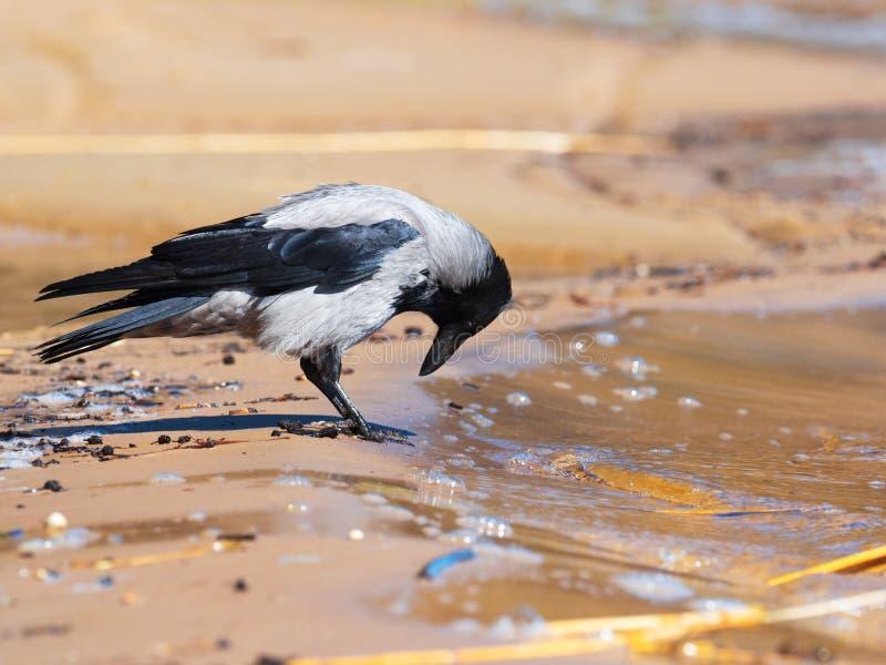 Um corvo cinzento em um Sandy Beach Cornix do Corvus fotografia de stock