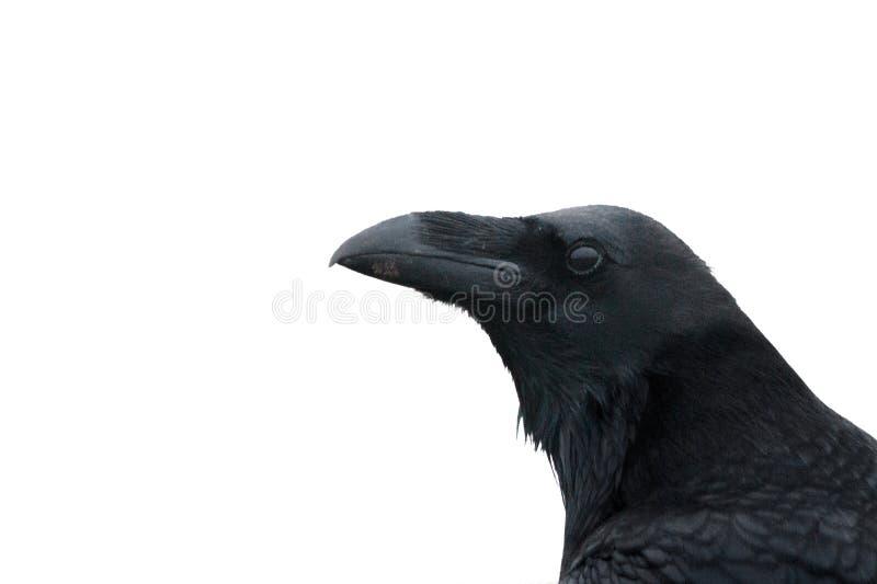 Um corvo, corvo comum, ou corvo do norte, fim acima da cabeça e bico contra o fundo branco foto de stock royalty free