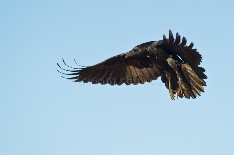 Um corvo da terra comum da aterragem