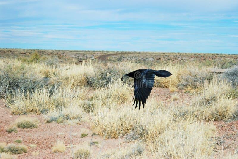 Um corvo em voo perto da terra no deserto do Arizona fotografia de stock