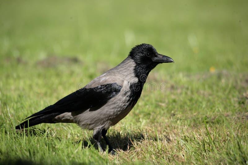 Um corvo encapuçado. fotografia de stock royalty free