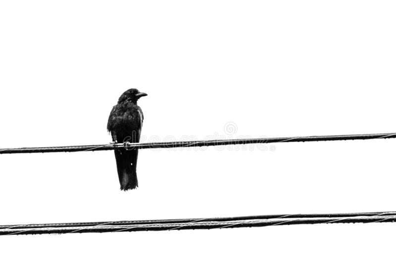 Um corvo, maior Moncton, Novo Brunswick, Canadá imagem de stock
