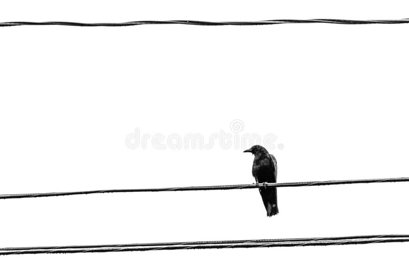 Um corvo, maior Moncton, Novo Brunswick, Canadá fotos de stock