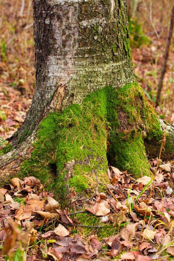 Um coto de árvore musgoso em uma folha decíduo foto de stock royalty free