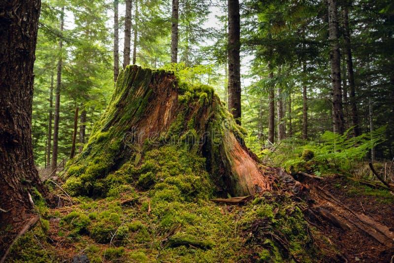 Um coto do cedro rotting em uma floresta tropical fotografia de stock royalty free