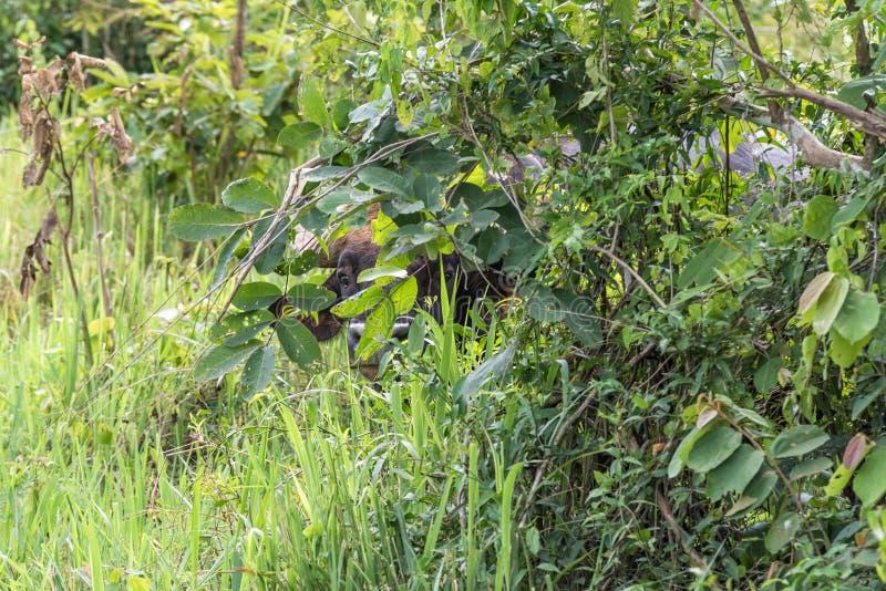 Um couro cru selvagem próprio do gaurus do Bos do gaur atrás da árvore fotos de stock royalty free