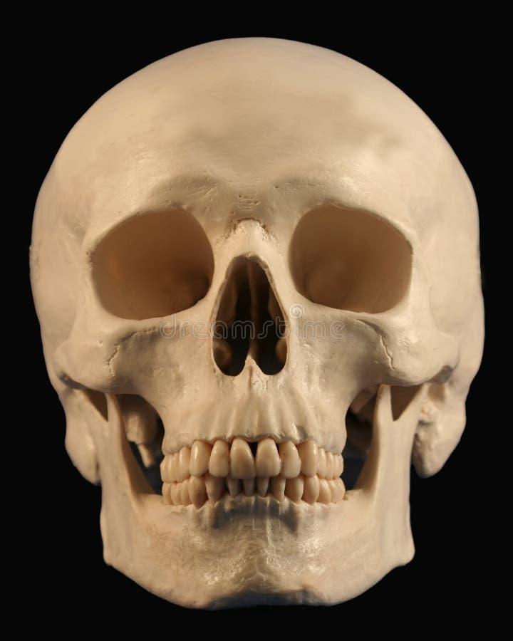 Um crânio para diante do revestimento imagens de stock